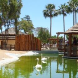 Limassol Zoo Swans