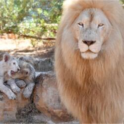 Pafos Zoo Lions