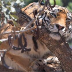 Pafos Zoo Tiger